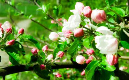 Close up of red wild apple flowers blooming in summer season. Wild nature. 版權商用圖片 - 152034986