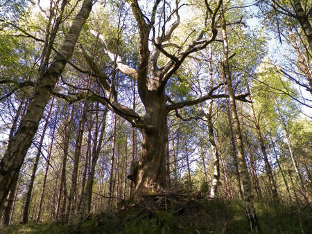 Old oak tree in Slovincian National Park, Poland. Coastal area. Nature of Northern Poland. 版權商用圖片