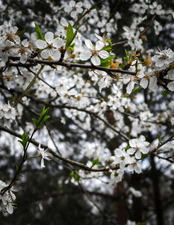 Close up of white wild apple flowers blooming in summer season. Wild nature.