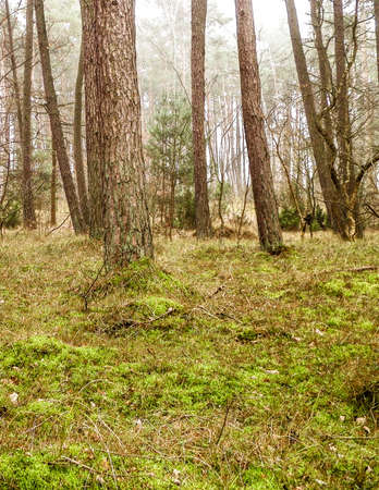 The pine forest in the coastal zone of the Baltic sea. Holidays and tourism, beautiful nature of northern Poland. 版權商用圖片 - 153405077
