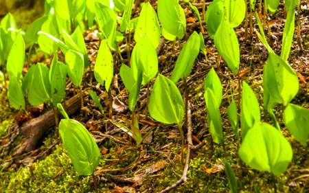 Close up of little green plants growing in forest. Nature background. 版權商用圖片 - 153404915