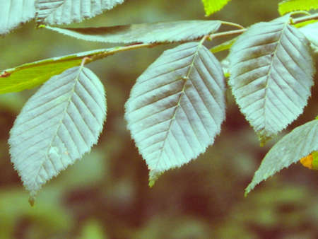Close up of beech tree leaves. Summer nature, green leaves, nature concept.