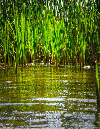 Close up of typha plant in lake water. Copy space on lake water. 版權商用圖片 - 153404988
