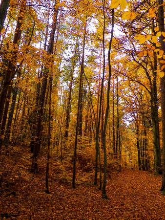 Polish forest in autumn. Nature concept. 版權商用圖片 - 153404995