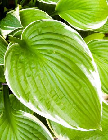 Close up of Hosta Mediovariegataleaves, nature background.