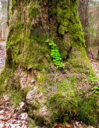Old tree trunk covered with green moss. Nature forest close up.