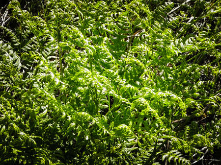 Close up of green leaves of green fern (Polypodiopsida Cronquist). Nature background, floral concept.