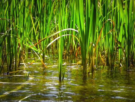 Close up of typha plant in lake water. Copy space on lake water.