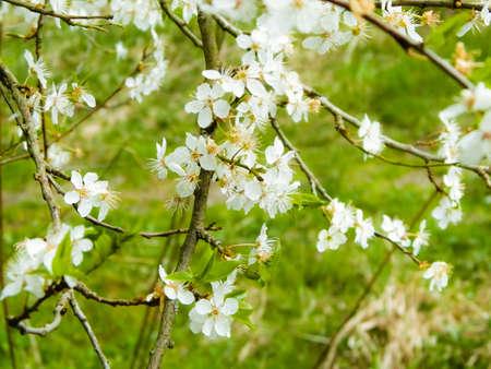 Close up of white flowers of wild apple tree. Summer season. 版權商用圖片