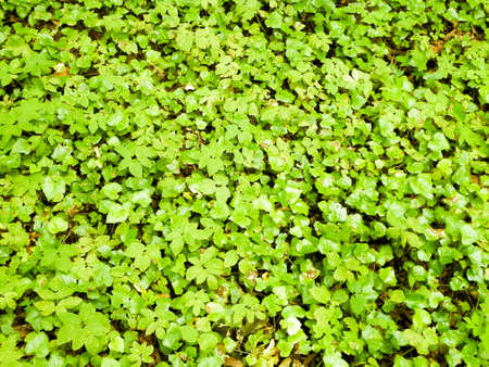 Green ivy leaves as nature background. Copy space, nature background. 版權商用圖片