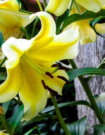 Close up of yellow lilly flower known as lemon lilly. Lilium candidum, summer season gardening concept. 版權商用圖片