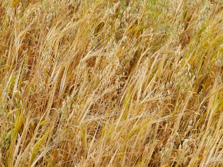 Oat field as nature background. Copy space, agriculture concept.