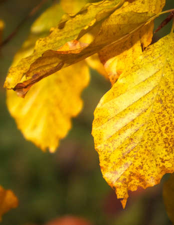 Close up of autumnal leaves. Gold, autumnal colors of nature as background.