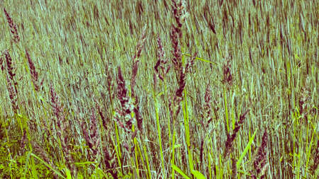 Close up of Poaceae (Meadow grass). Nature and floral concept. 版權商用圖片