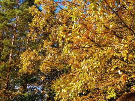 Tree with yellow leaves. Autumn season. Nature concept. 版權商用圖片