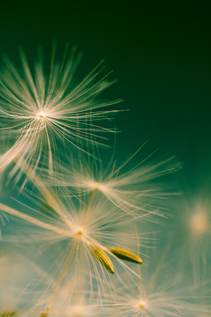 Dandelion parachutes by the wind on a green background. Imagens - 91414968