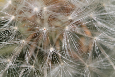 Enlarged Dandelion ( blowball ) with fluff and seeds over green.