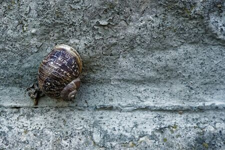 Snail on a rough cement wall, animal background.