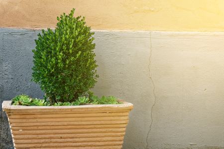 Evergreen tree Buxus sempervirens (common box, European box, or boxwood) in pot near house wall