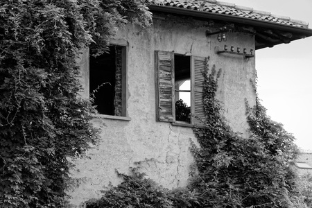 Monochrome Evergreen ivy growing on brick wall of old house. Stock Photo