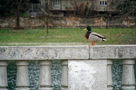 Duck seating on cement handrails and thinking about future on the Earth, than says quack quack. 免版税图像