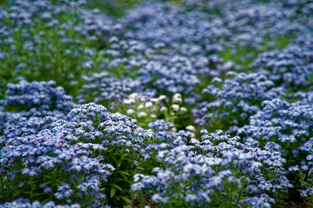 blue little flowers on bush, Meadow plant background: forget-me-not close up and green grass. Shallow DOF Imagens - 124757805