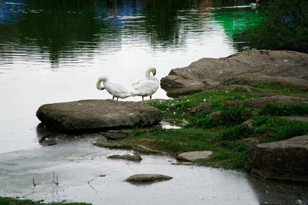 Swans couple on lake. Ducks and white swans in the reserve. Reklamní fotografie - 124595152