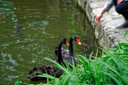 Swans couple on lake. Ducks and black swans in the reserve. Reklamní fotografie - 124595452