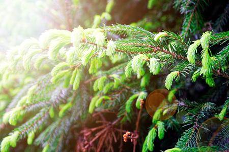 Young fir needles, green background nature texture.