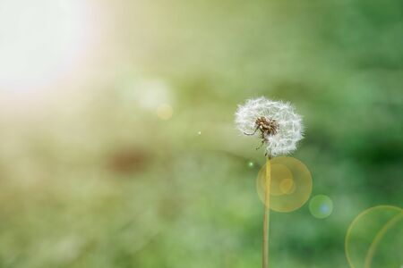 Dandelion flowers with flying feathers on blue bokeh background. Beautiful dreamy nature card. Reklamní fotografie