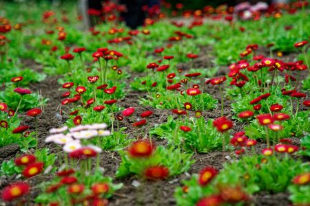 Vintage little red flowers with white head in center, nature beautiful, toning design spring nature, sun flowerbed plants.