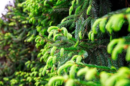 Young fir needles, green background nature texture.