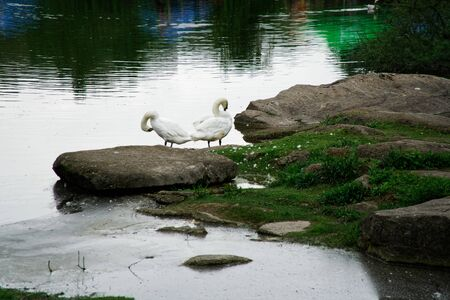 Swans couple on lake. Ducks and white swans in the reserve.