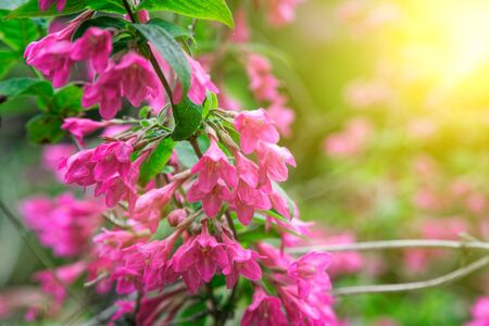 Bush of pink flower hydrangea blooming in the garden.