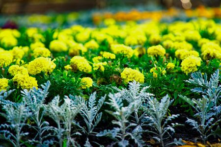 Colourful Flowerbeds and summer Formal Garden, close-up flowers.