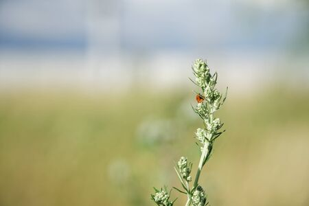 Burdock and ladybug Closed Inflorescence, Arctium tomentosum, defocused background. Stockfoto