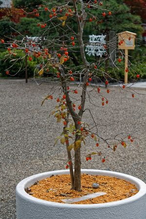 Japan rowan tree in flowerpot. Autumn leaves. Rowan trees. Komagane nagano japan. The middle of september. 免版税图像