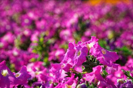 Autumn garden, featuring a spectacular display of vibrant pink and purple hydrangea flowers