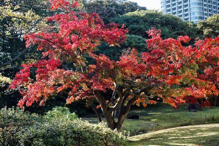 Vibrant red maple tree in autumn sunny day. 免版税图像