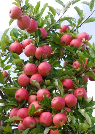 apple orchard: Red apples Stock Photo