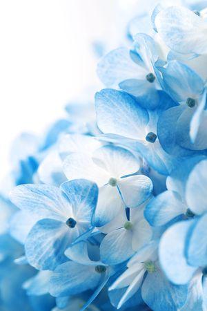 Hydrangea bloemen Stockfoto