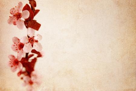 Kirschblüte Hintergrund Standard-Bild - 13326990