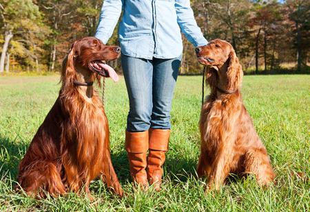 Irish Setter dogs Stock Photo