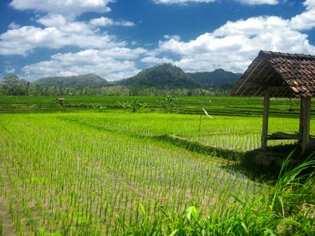 Rice Field And Hut, Kulon Progo, Yogyakarta