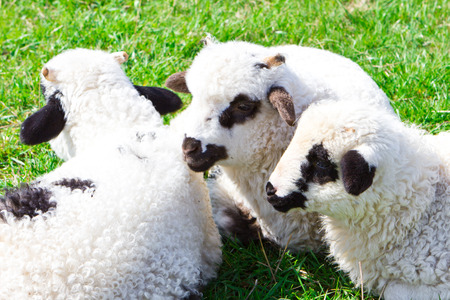 pastureland: Flock of sheeps on the meadow at sunny day Stock Photo
