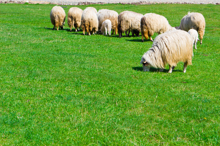lambing: Flock of sheeps on the meadow at sunny day Stock Photo