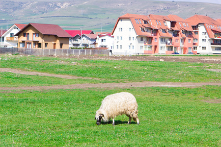 Country view at sheep grazing near blocks photo