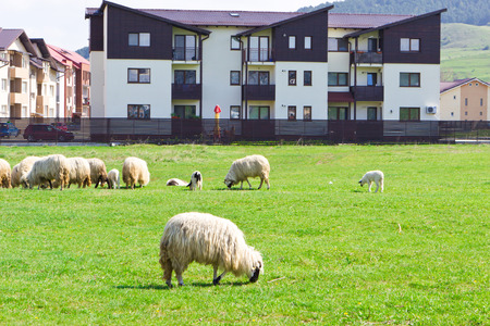 Flock of sheeps on the meadow near blocks at sunny day