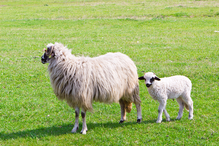 lambing: Sheep and funny white lamb with black ears on field