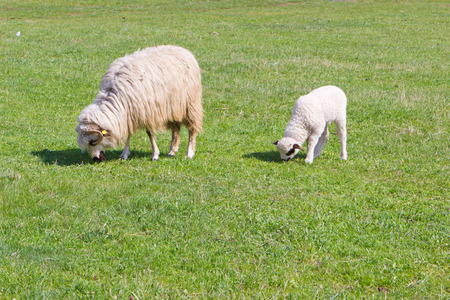 Sheep and funny white lamb with black ears on field photo